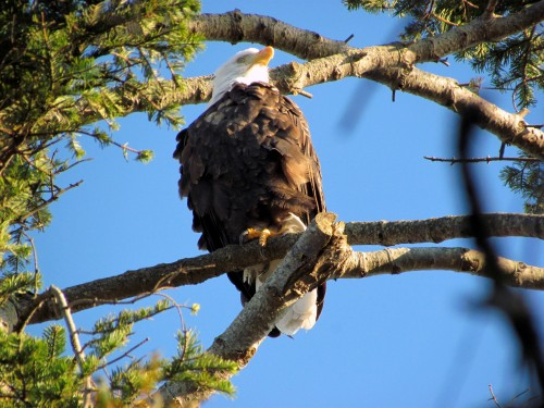 Anderson Hill banded eagle Oct 10-2018.jpg