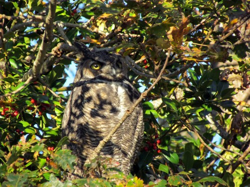 Great Horned Owl at Anderson Hill October 10-2018.jpg