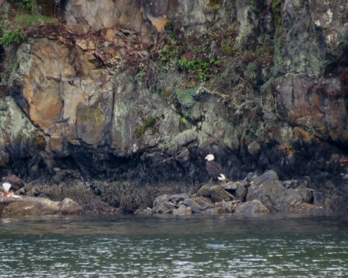 Goldstream Eagles across from Marina 6 Nov.JPG