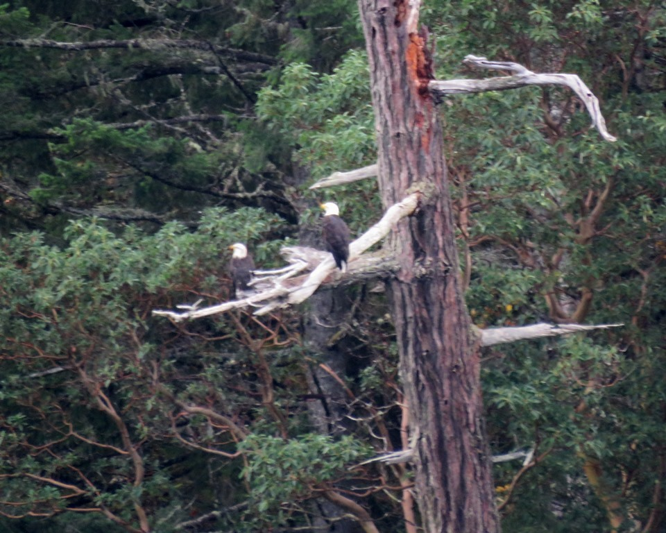 Goldstream Eagles across from Marina(1) 6 Nov.JPG