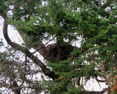 Sylvan Lane Nest(1) 13 Nov. 2019.JPG