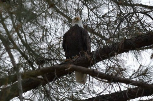 liberty perched in pine by roger.jpg