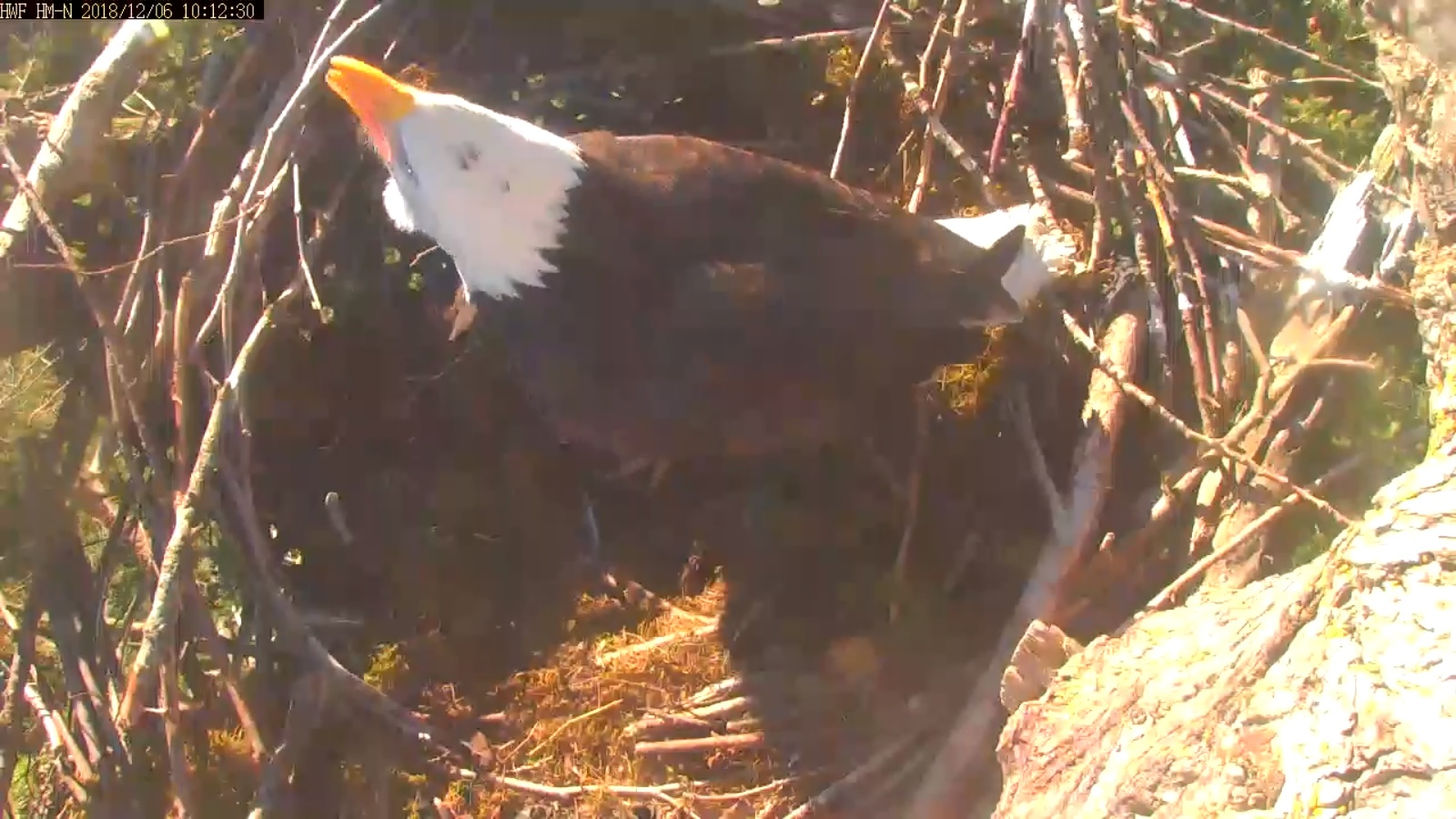 hm lady in nest north cam vocalizing 10 12 .jpg