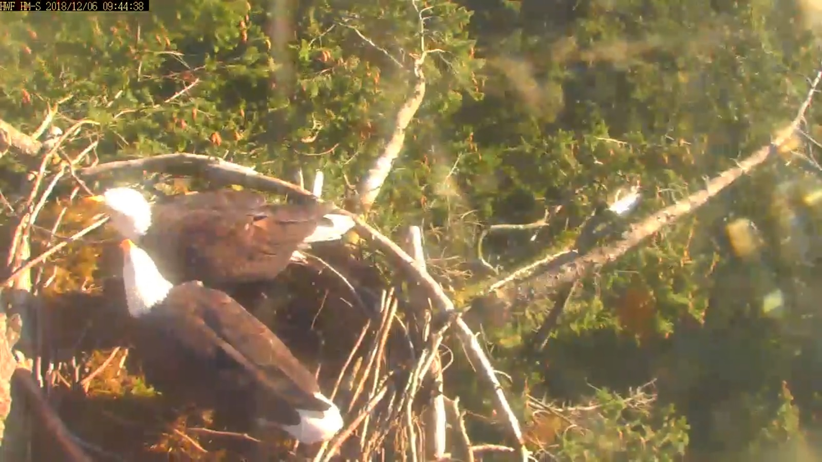 hm both moved nest material now looking around 9 44 dec 6 .jpg
