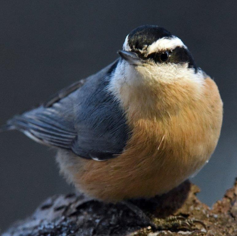 20181206_Red_breasted_nuthatch.jpg