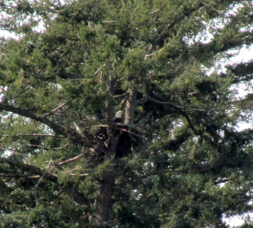 Witty's Lagoon Bald Eagle nest March 14-2018.jpg