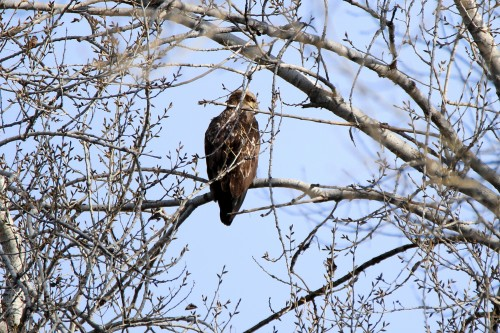 immature eagle by tb nest-3.jpg