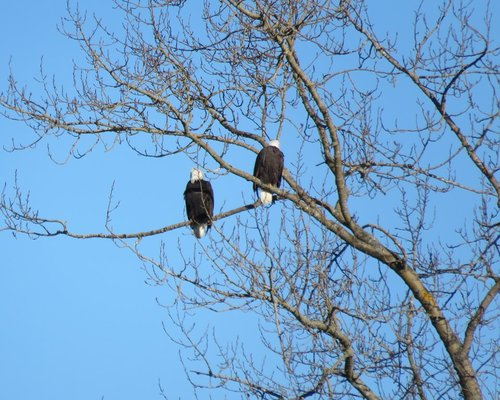 Brentwood Bay Eagles Nest tree 1st nest 30 Jan, 2015.JPG