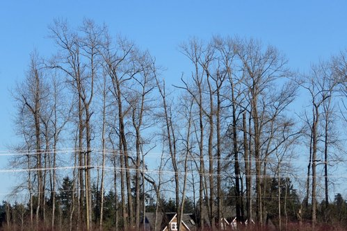 Brentwood Bay Eagles Nests taken from the dead end road on the other side of the field.JPG