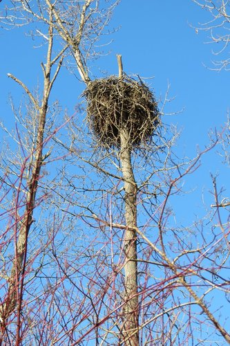 Brentwood Bay new nest 20 Jan. 2013.JPG