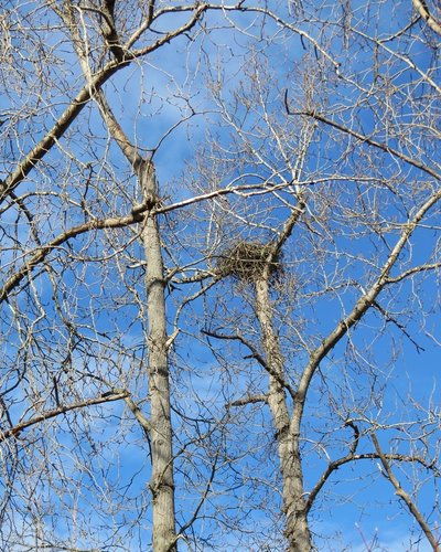 Brentwood Bay Eagles nest 28 Feb. 2014.JPG