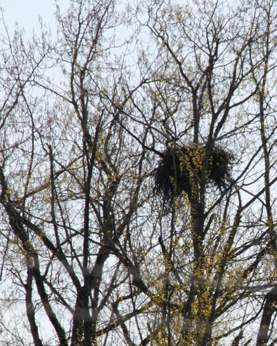 Brentwood Bay Eagles nest 2 Apr. 2016.jpg