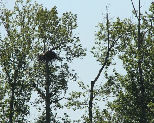 Brentwood Bay Eagles Nest 1 June 2014.JPG