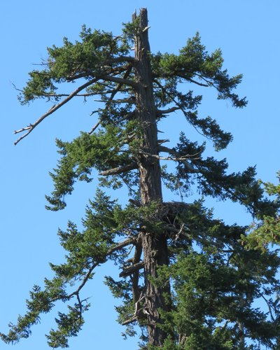 Brentwood Bay Eagles Nest behind Vet Clinic 29 Sep. 2015.JPG