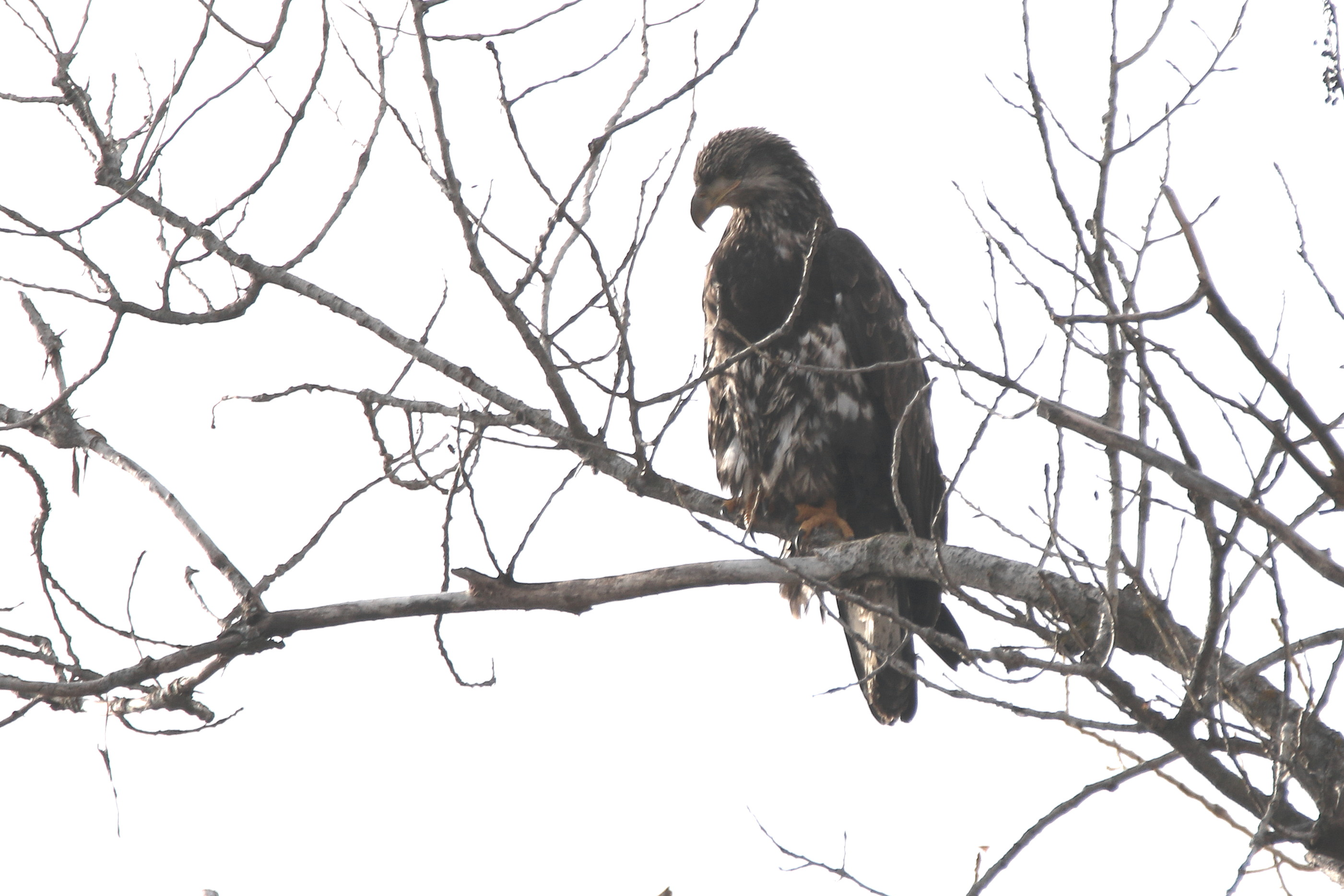 young eagle on ft-12.jpg