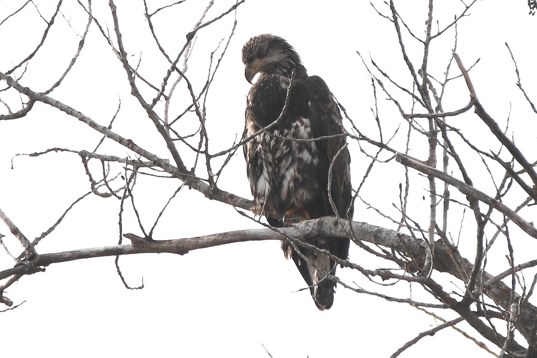 young eagle on ft-17.jpg