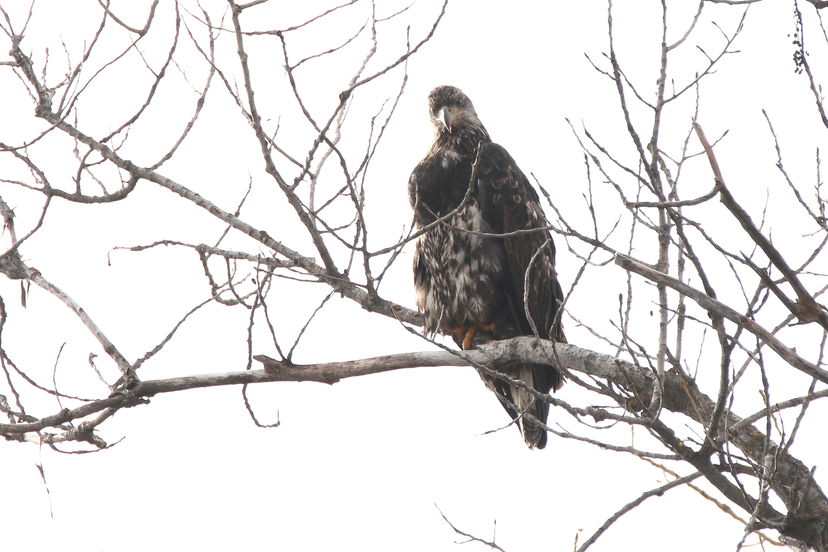 young eagle on ft-22.jpg