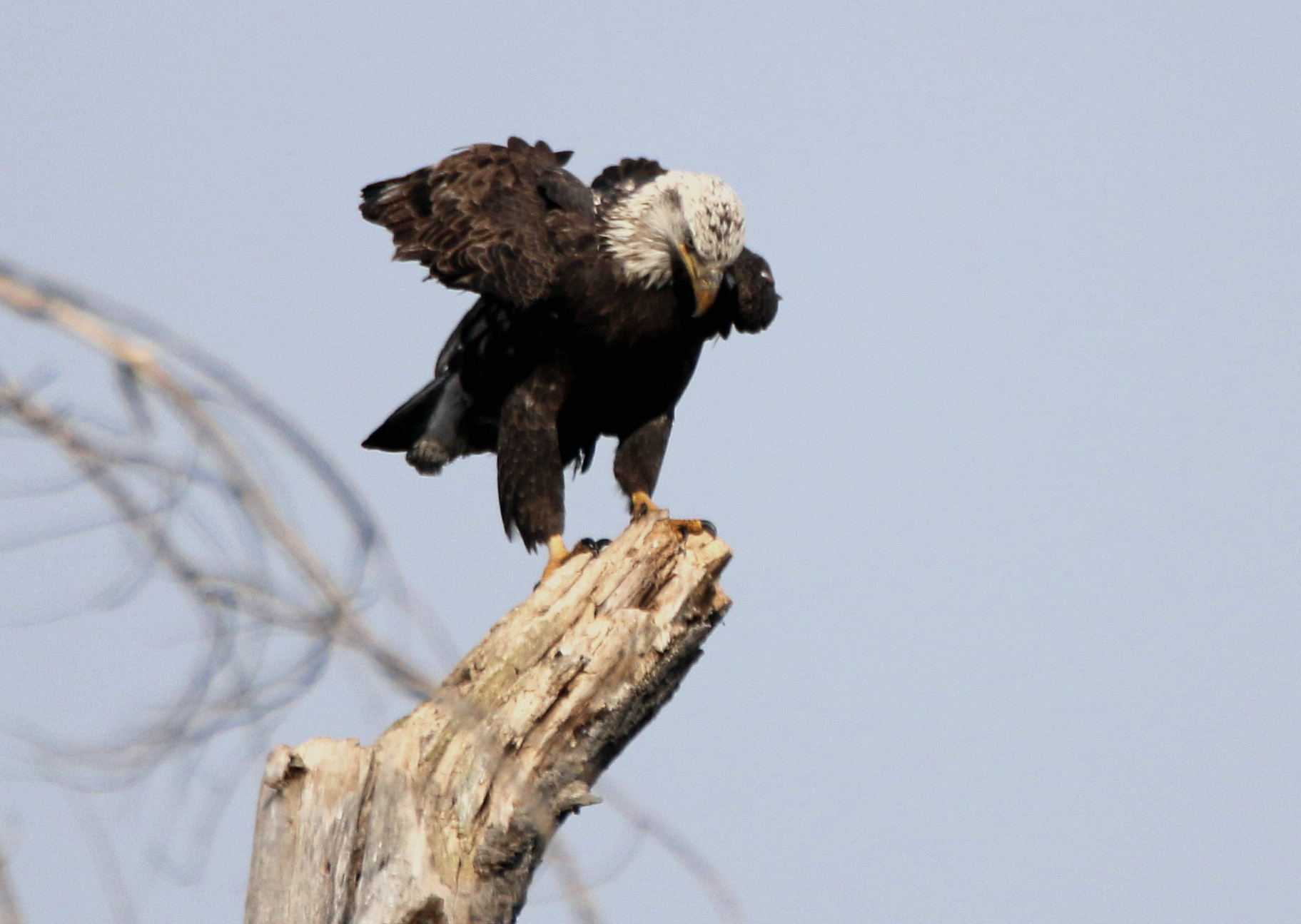 4th year eagle returns to dead tree-2.jpg
