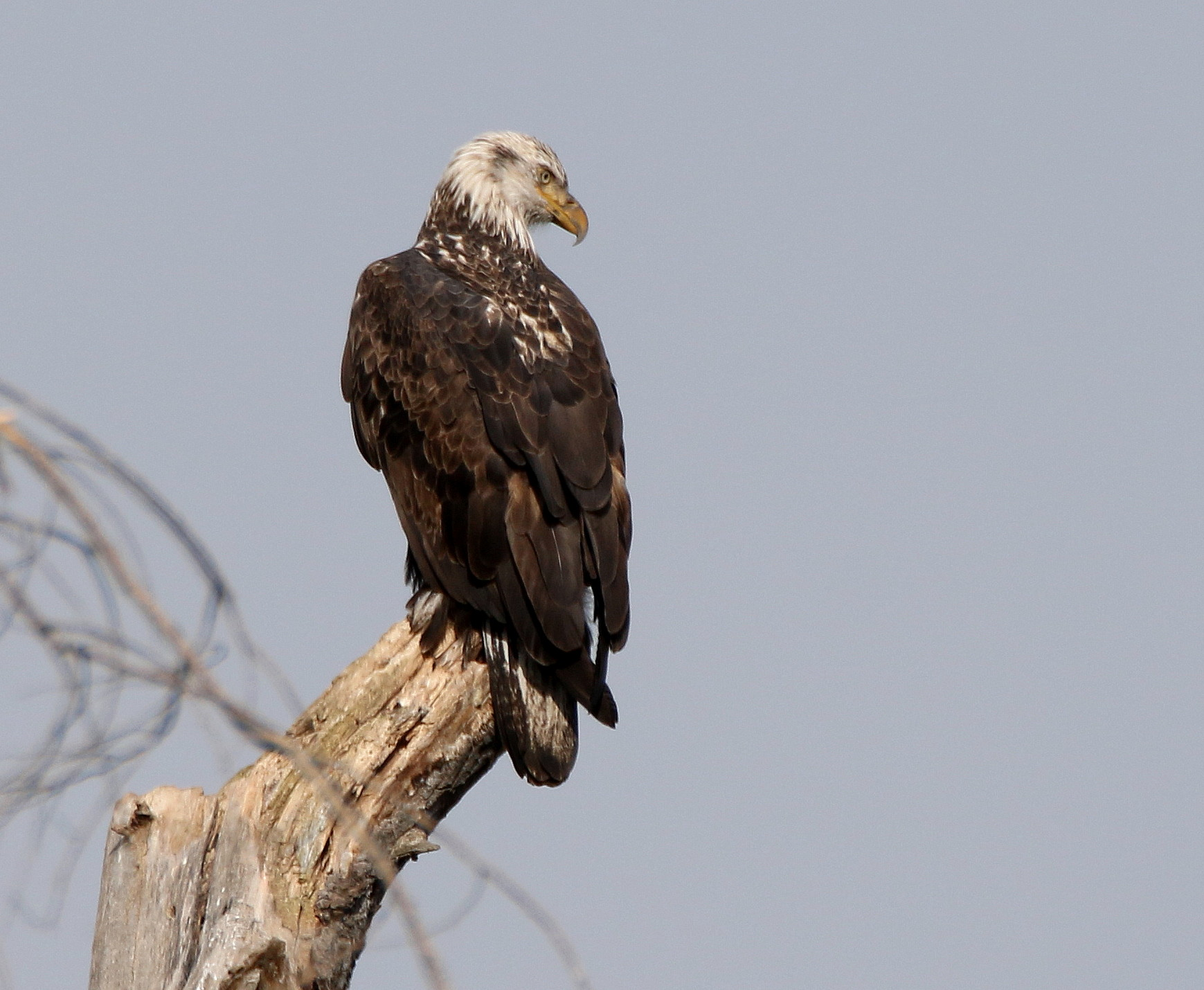 4th year eagle returns to dead tree-6.jpg