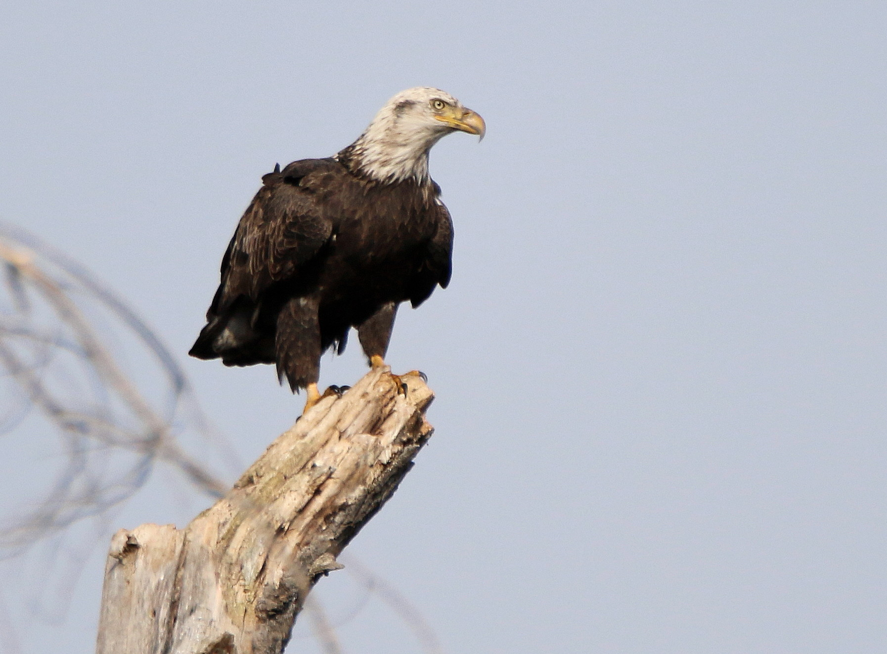 4th year eagle returns to dead tree-3.jpg