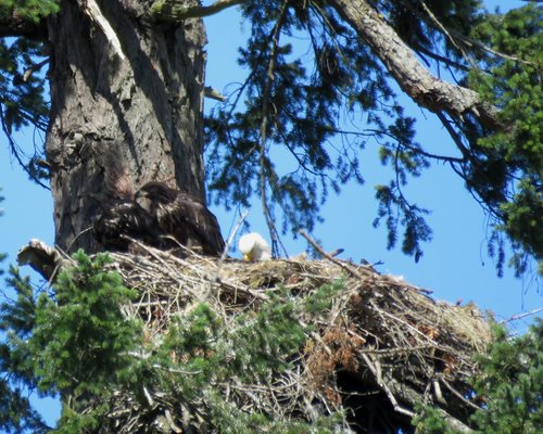 Brentwood Bay Eagles Alternate Nest 9 June 2016.JPG