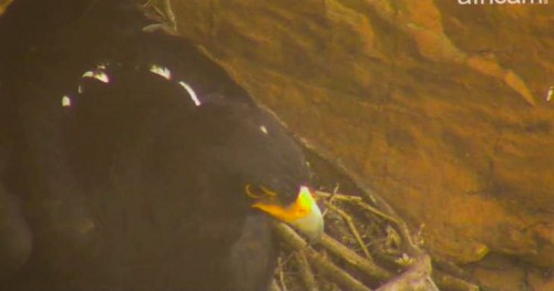 Black Eagle sitting on eggs_edited.jpg