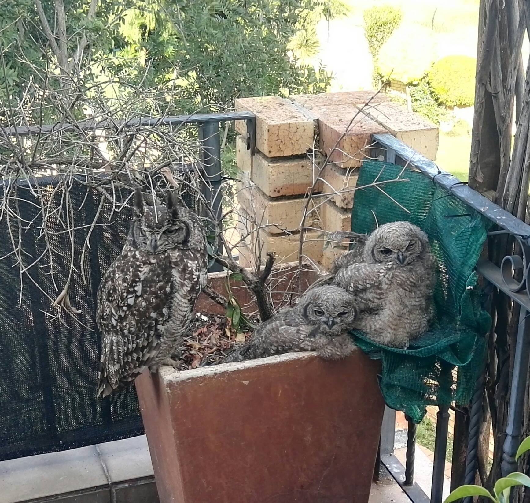 Lady and her owlets 16 Dec. 2018.jpg