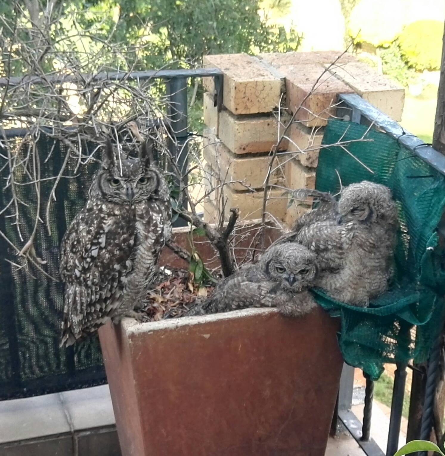 Lady with her owlets 16 Dec. 2018.jpg