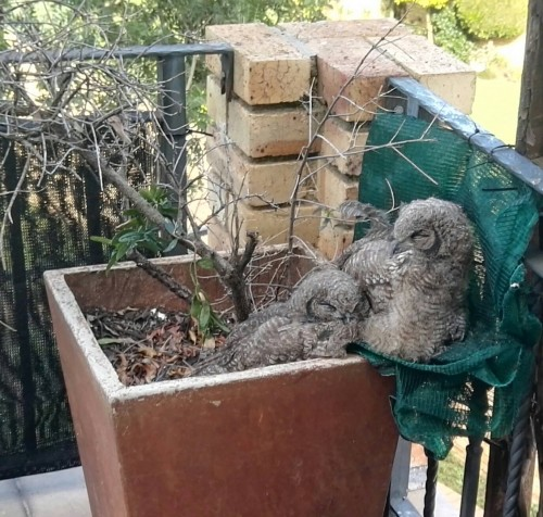 Pot Plant Owl Adopted Owlets 16 Dec. 2018.jpg