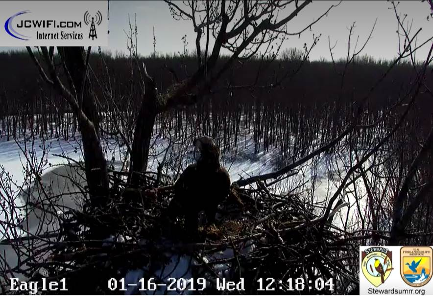 2019-01-16 13_16_47-Trio Bald Eagle Nest Cam -Live _ Stewards of the Upper Mississippi River Refuge .jpg