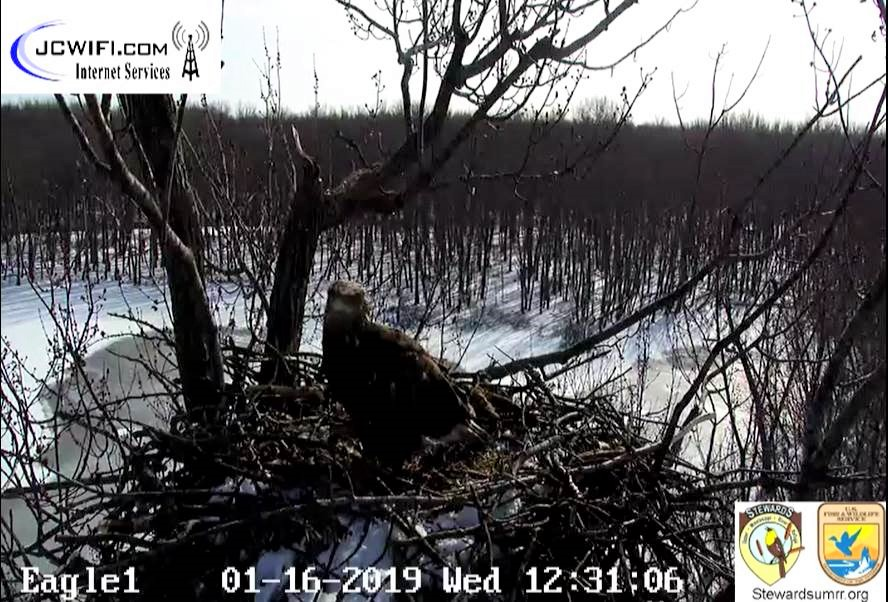 2019-01-16 13_29_46-Trio Bald Eagle Nest Cam -Live _ Stewards of the Upper Mississippi River Refuge .jpg