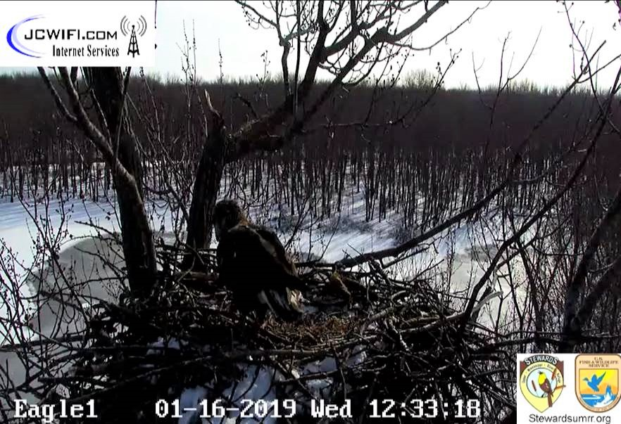 2019-01-16 13_31_58-Trio Bald Eagle Nest Cam -Live _ Stewards of the Upper Mississippi River Refuge .jpg