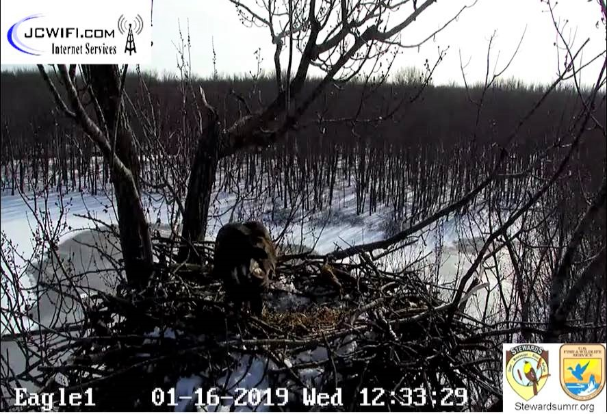 2019-01-16 13_32_09-Trio Bald Eagle Nest Cam -Live _ Stewards of the Upper Mississippi River Refuge .jpg
