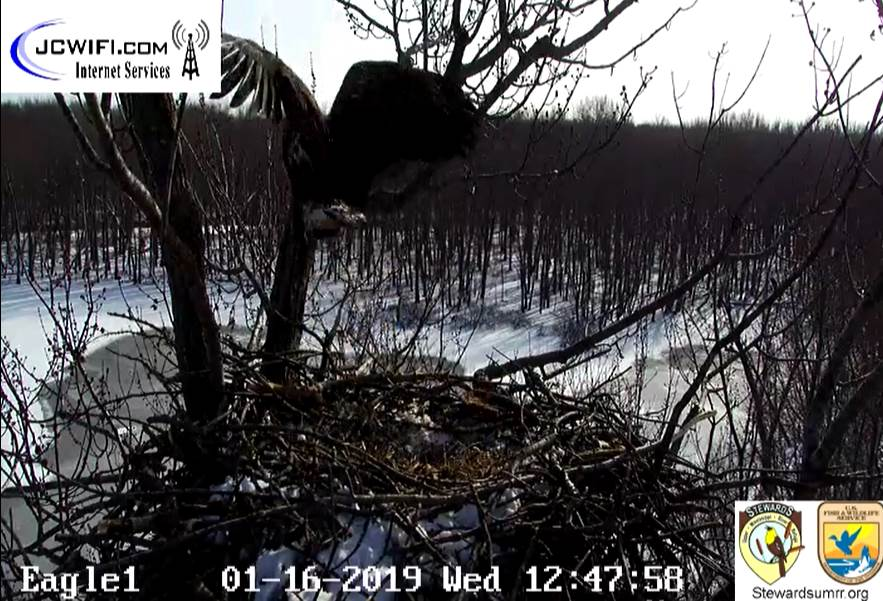 2019-01-16 13_46_38-Trio Bald Eagle Nest Cam -Live _ Stewards of the Upper Mississippi River Refuge .jpg
