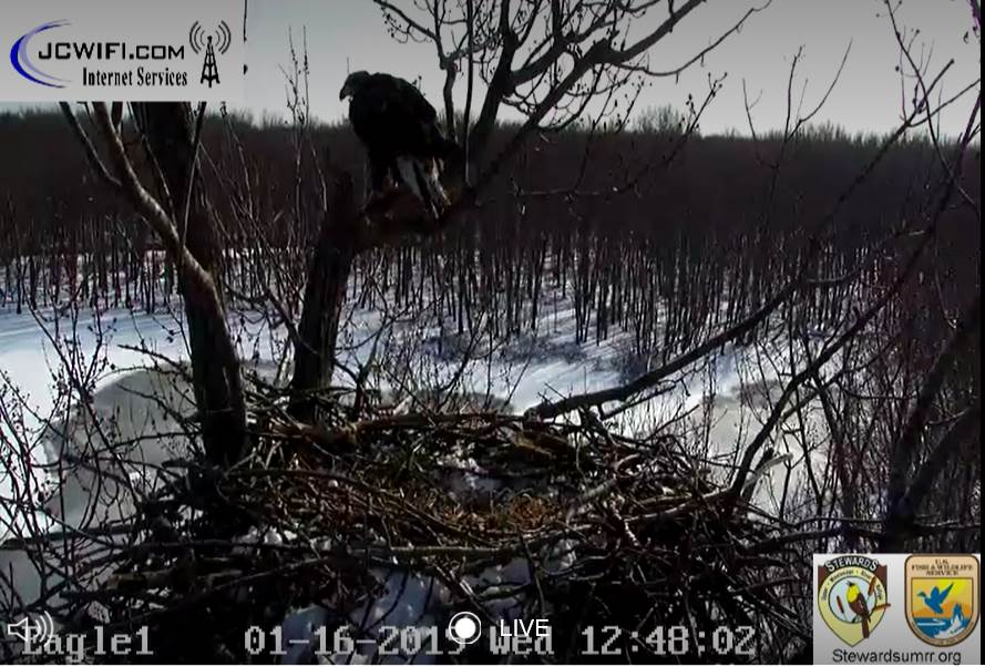 2019-01-16 13_46_42-Trio Bald Eagle Nest Cam -Live _ Stewards of the Upper Mississippi River Refuge .jpg
