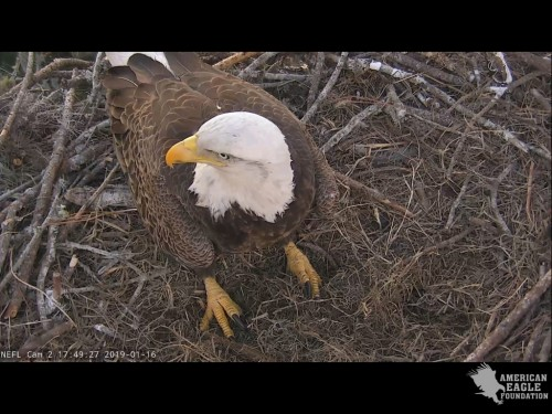 NEFL EAGLES 1 16 19 5 50 PM ONE IN NEST.jpg