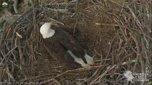 FT MEYERS EAGLES 2 1 19 10 37PM INCUBATING.png