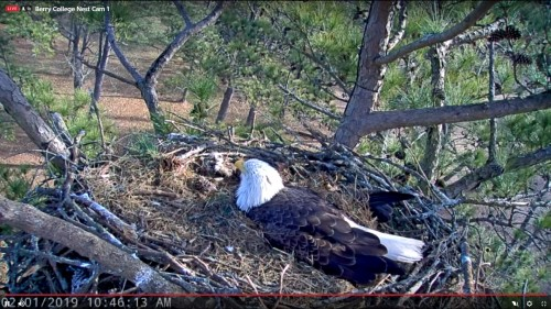 BERRY COLLEGE EAGLES 2 1 19 10 48M INCUBATING.jpg