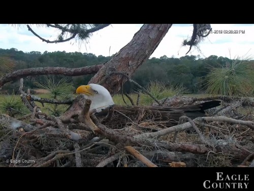 EAGLE COUNTRY 2 1 19 2 30PM INCUBATING 2 EGGS.jpg