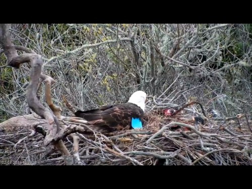FRASER POINT EAGLES 2 1 19 3 08PM POSSIBLE EGG NEST BOLE TOO DEEP TO TELL FOR SURE.jpg