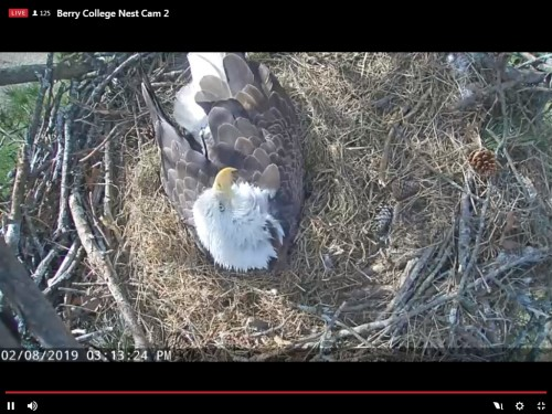 BERRY COLLEGE EAGLES 2 8 19 3 16PM INCUBATING IN THE WIND.jpg