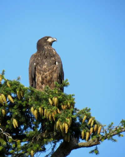 Reay Creek Eaglet on Lochside Dr. 9 Aug. 2013.JPG