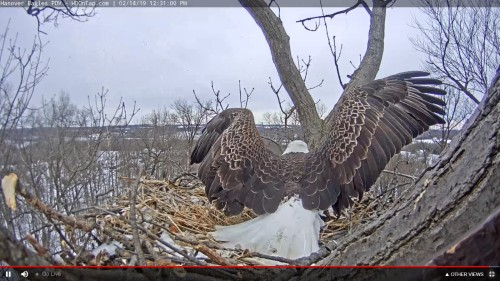 hanover eagle to nest with stick 12 31 feb 14 .jpg