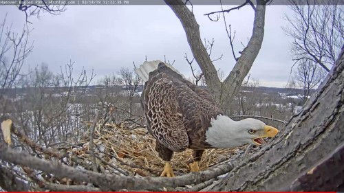 hanover eagle trying to move big stick 12 32 feb 14 .jpg