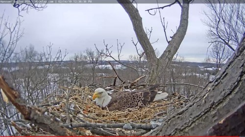 hanover back laying in nest 12 36 feb 14 .jpg