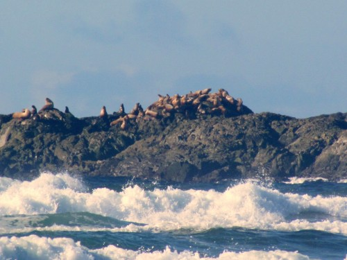 Sea Lions Comber Beach Tofino Feb 20-2019.jpg