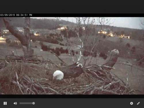 NCTC EAGLES 3 9 19 6 36PM INCUBATING.jpg