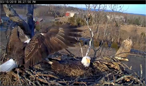 Mar 10 627 pm Dad lands on nest.JPG