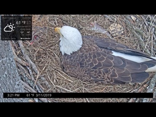 PORT TOBBACO EAGLES 3 11 19 3 21PM NEW CAM LOOKS LIKE INCUBATING POSSIBLE HATCH WATCH FROM CHAT.jpg
