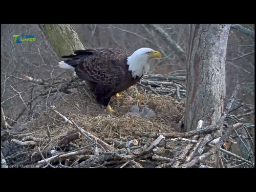 DALE HOLLOW EAGLES 3 13 19 12 34 FEEDING.jpg